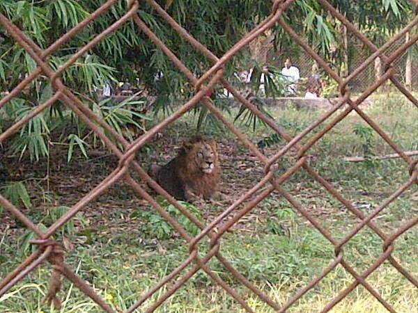 lion in zoo - Lion that escaped from Kano Zoo captured after devouring many goats