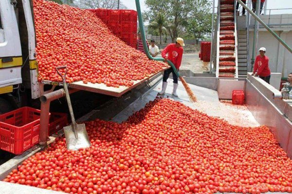 Dangote Tomato Factory in Kano suspended when most of the tomato farms in about five states were affected by a pest is to resume production in February.