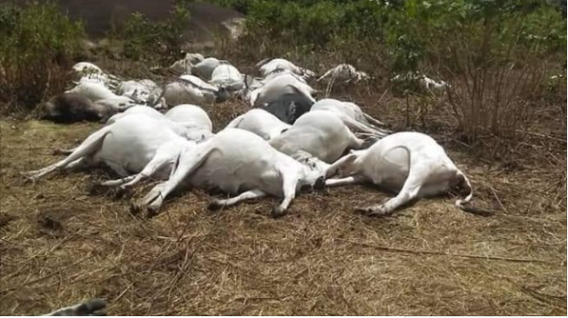 cows killed in ondo - [PHOTO] Lightning kills 36 cows on 'sacred land' in Ondo