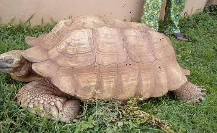 oldest tortoise in africa dies at 344 - How the oldest tortoise in Africa died at 344 years in Ogbomoso